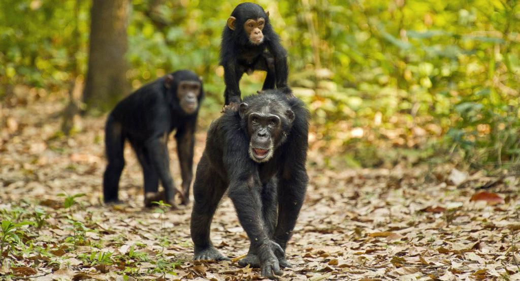 szympansy w tanzanii