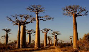 Kraina baobabów