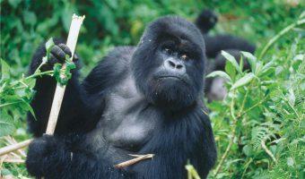 Na tropie goryli